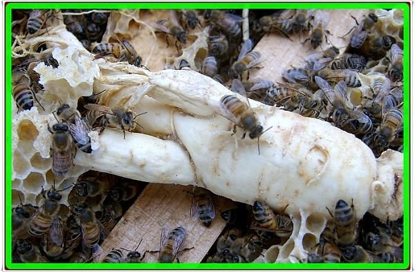 꿀벌효소숙성인삼